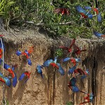 macaw clay lick chuncho tambopata amazon wildlife sandoval lake lodge and manu national park