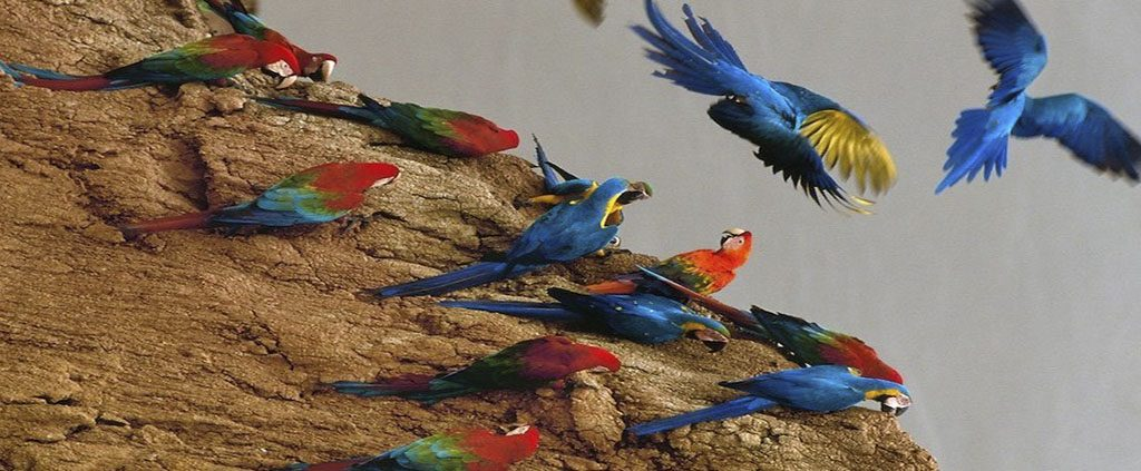 Tambopata Reserve Macaw Clay Lick - sandoval lake reserve