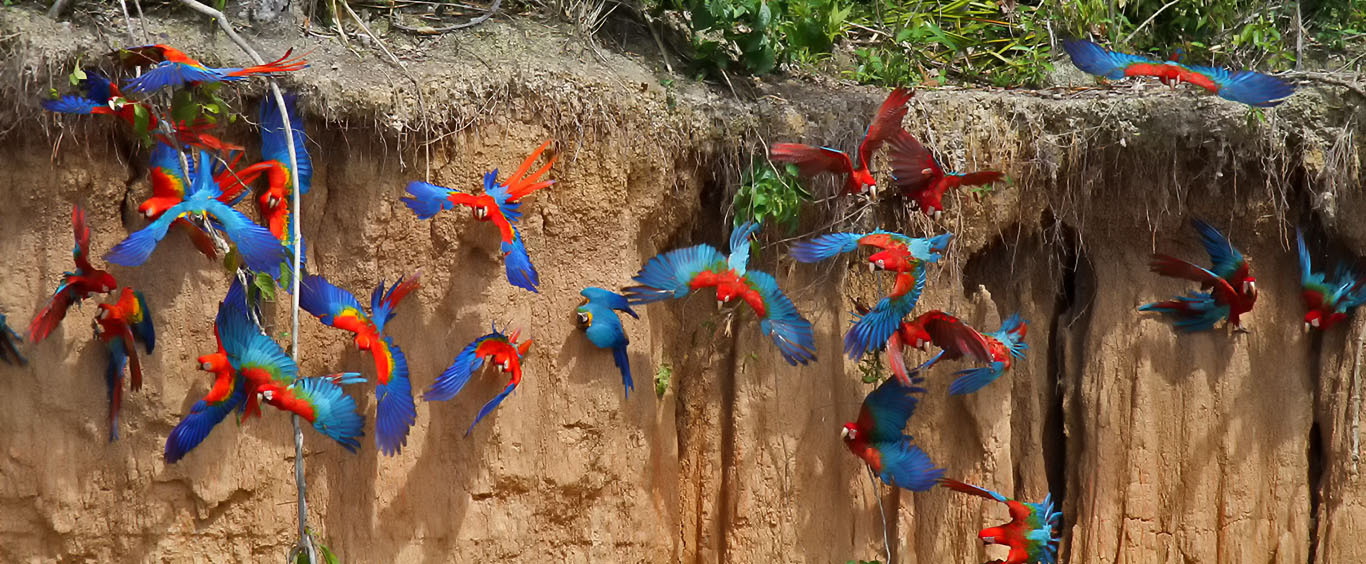 macaws-clay-lick-sandoval-lake-lodge