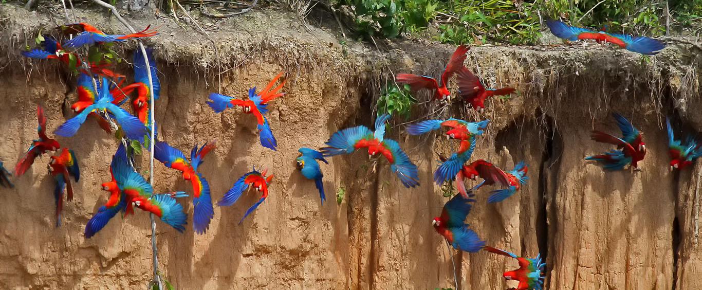 macaws-clay-lick-sandoval-lake-lodge