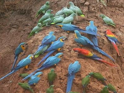 Amazon Peru Macaw Clay Lick SANDOVAL LAKE