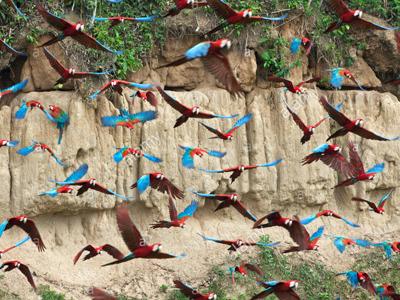 Amazon Travel Macaw Tambopata sandoval lake