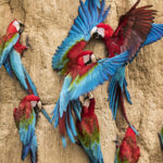 Amazon Wildlife Macaw clay lick