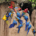 macaw amazon clay lick sandoval lake